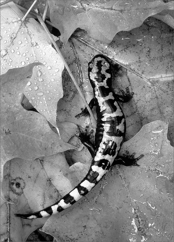 Marbled salamander, ambystoma opacum, salamander,