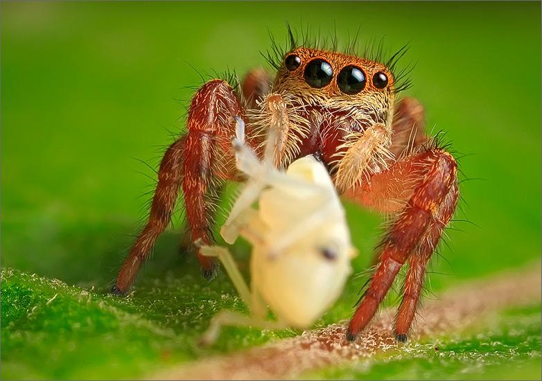 spider, jumping spider, arachnida, salticidae, insect, phidippus
