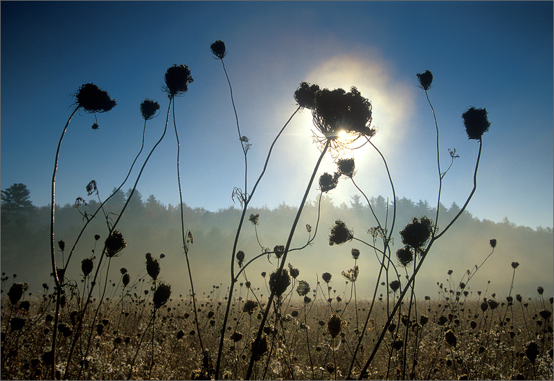 queen annes lace, sunrise, photo