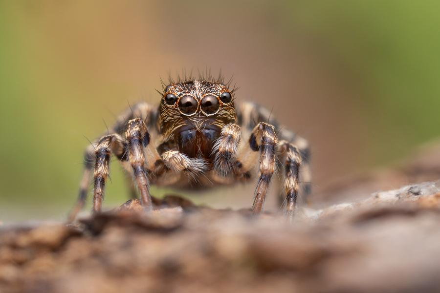 jumping spider, salticidae, Patrick Zephyr, Massachusetts,Naphrys pulex