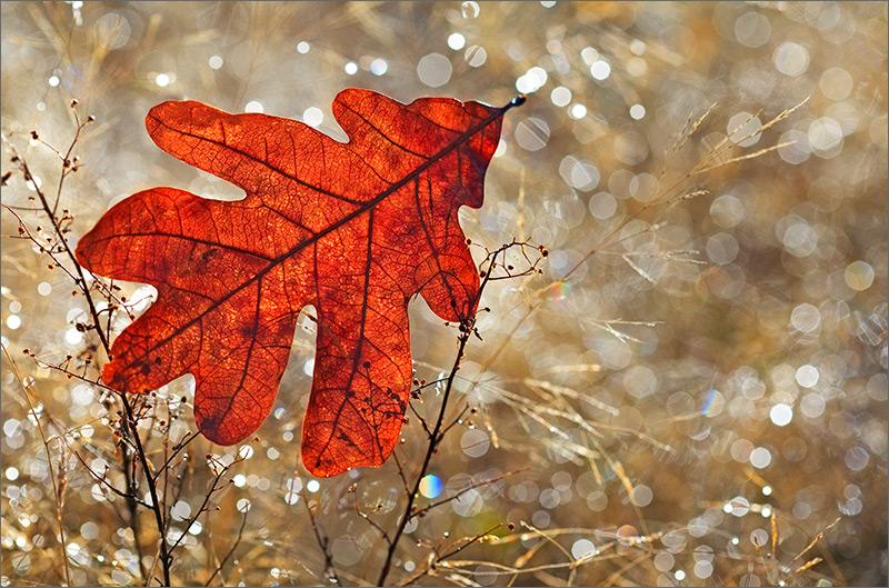 Broken, leaf, oak, photo