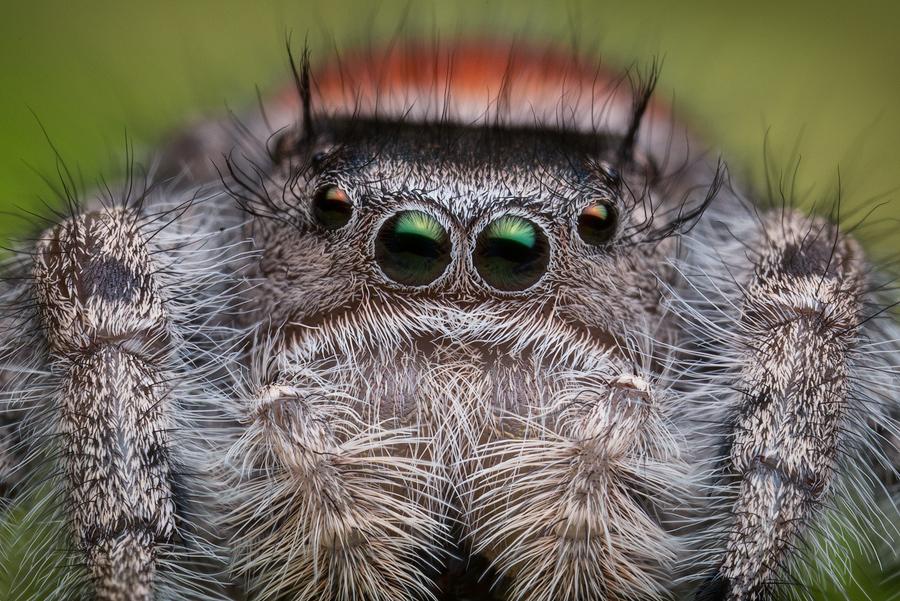 phidippus,phidippus adumbratus, salticidae, jumping spider, photo