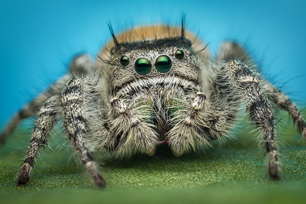 I'm working on a project to photograph all the amazing Phidippus jumping spiders of North America. This is a species that is...