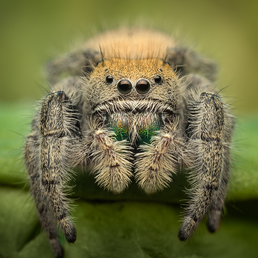 I had the opportunity to photograph a couple Phidippus apacheanus females a few of years ago and they looked completely different...