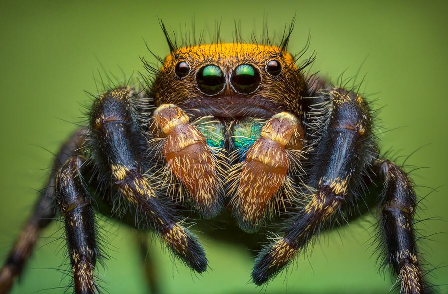 phidippus apacheanus, salticidae, jumping spider, photo
