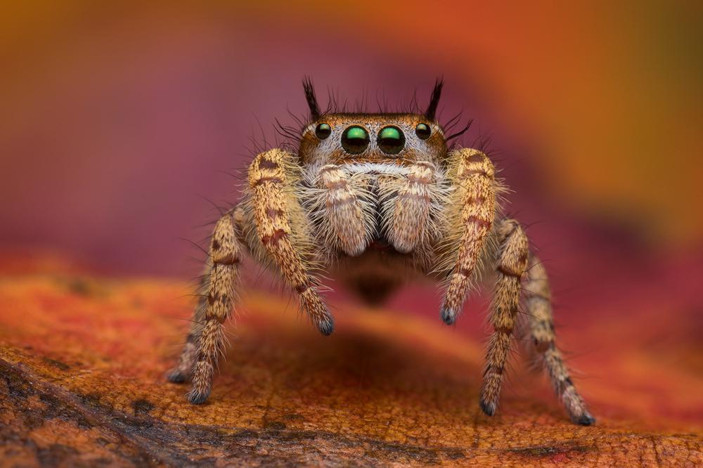 phidippus arizonensis, salticidae, jumping spider, photo