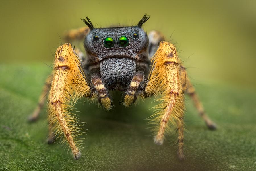 phidippus arizonensis, salticidae, jumping spider