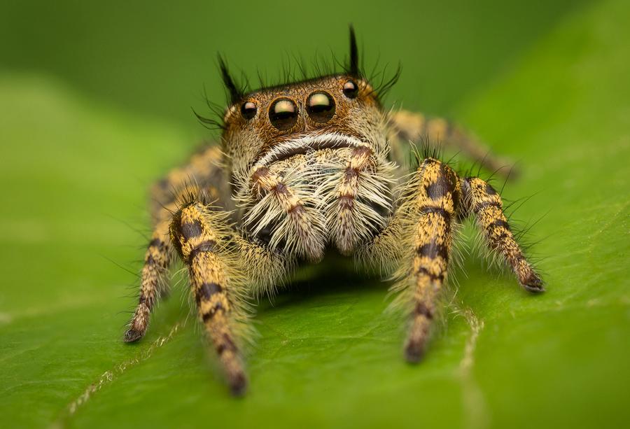 phidippus, Phidippus arizonensis, salticidae, jumping spider, photo