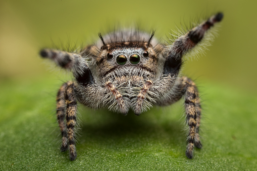 phidippus asotus, salticidae, jumping spider, photo