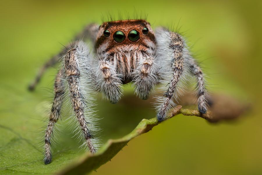 phidippus,Phidippus asotus, salticidae, jumping spider, photo