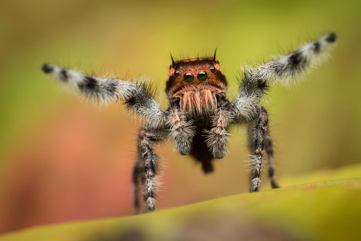 phidippus, asotus, jumping spider, salticidae, arachnid, courtship, arizona, macro, nature, photo