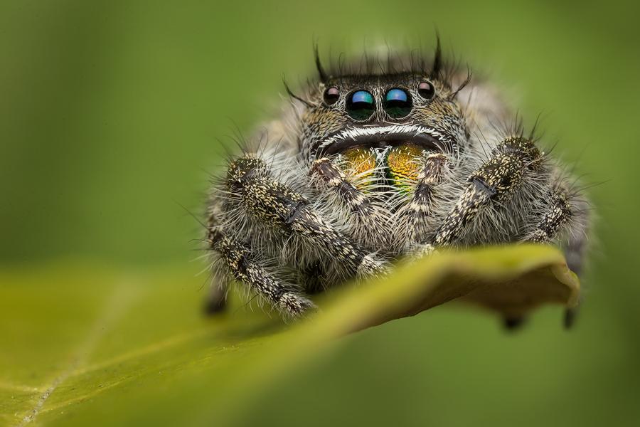 jumping spider, phidippus, salticidae, macro, patrick zephyr, spider, arachnid, phidippus audax