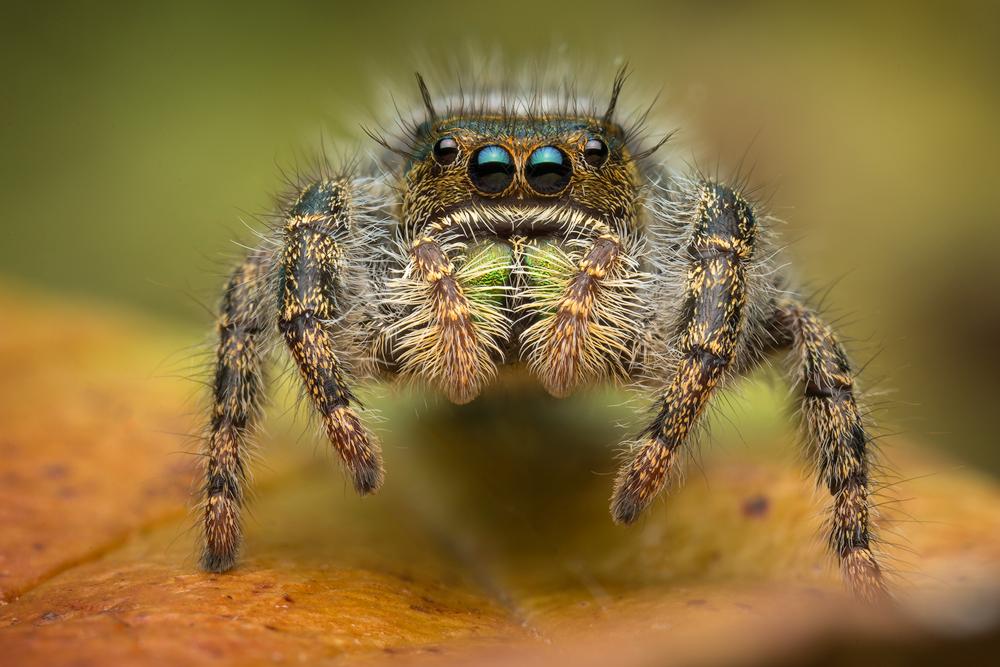 phidippus, audax, bold jumper, jumping spider, spider, salticidae, massachusetts, arachnid, bryantae, photo