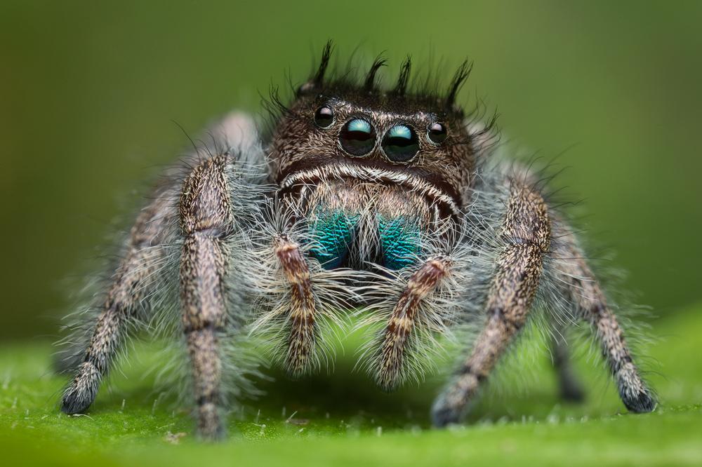 phidippus bidentatus, salticidae, belize, jumping spider, photo