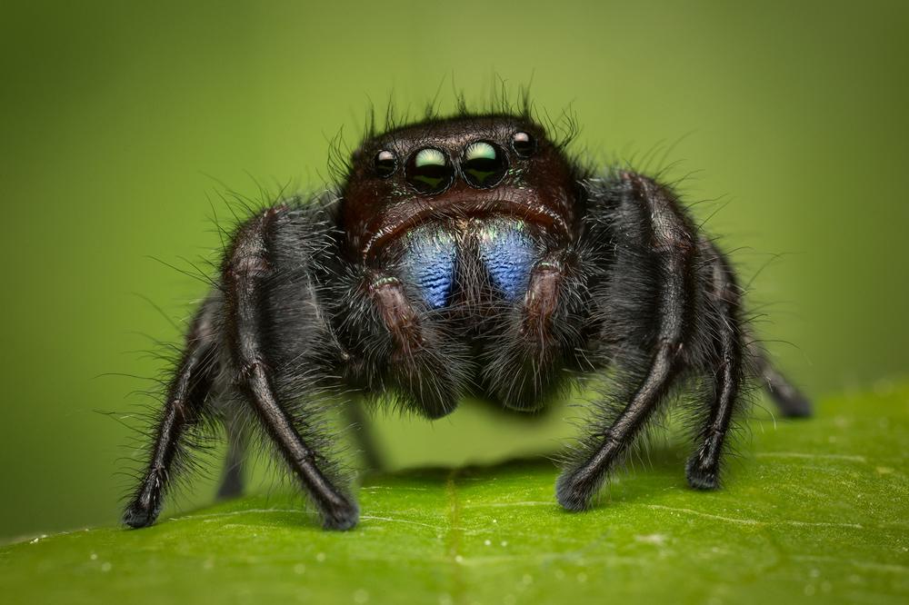 jumping spider, phidippus, salticidae, macro, patrick zephyr, spider, arachnid, belize