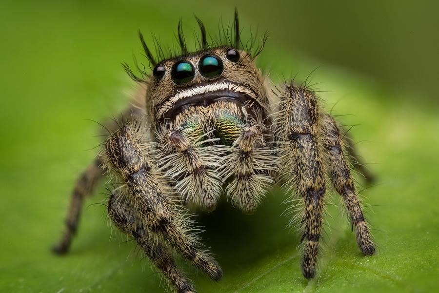 Phidippus bidentatus, salticidae, jumping spider, photo