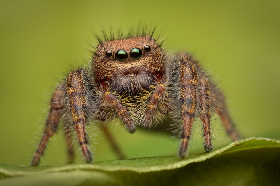phidippus cardinalis, salticidae, jumping spider, photo