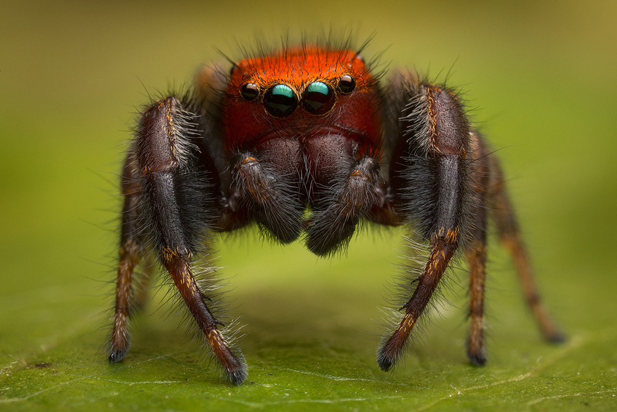 phidippus,phidippus cardinalis, salticidae, jumping spider, photo
