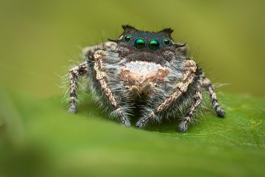 phidippus,phidippus carolinensis, salticidae, jumping spider, photo