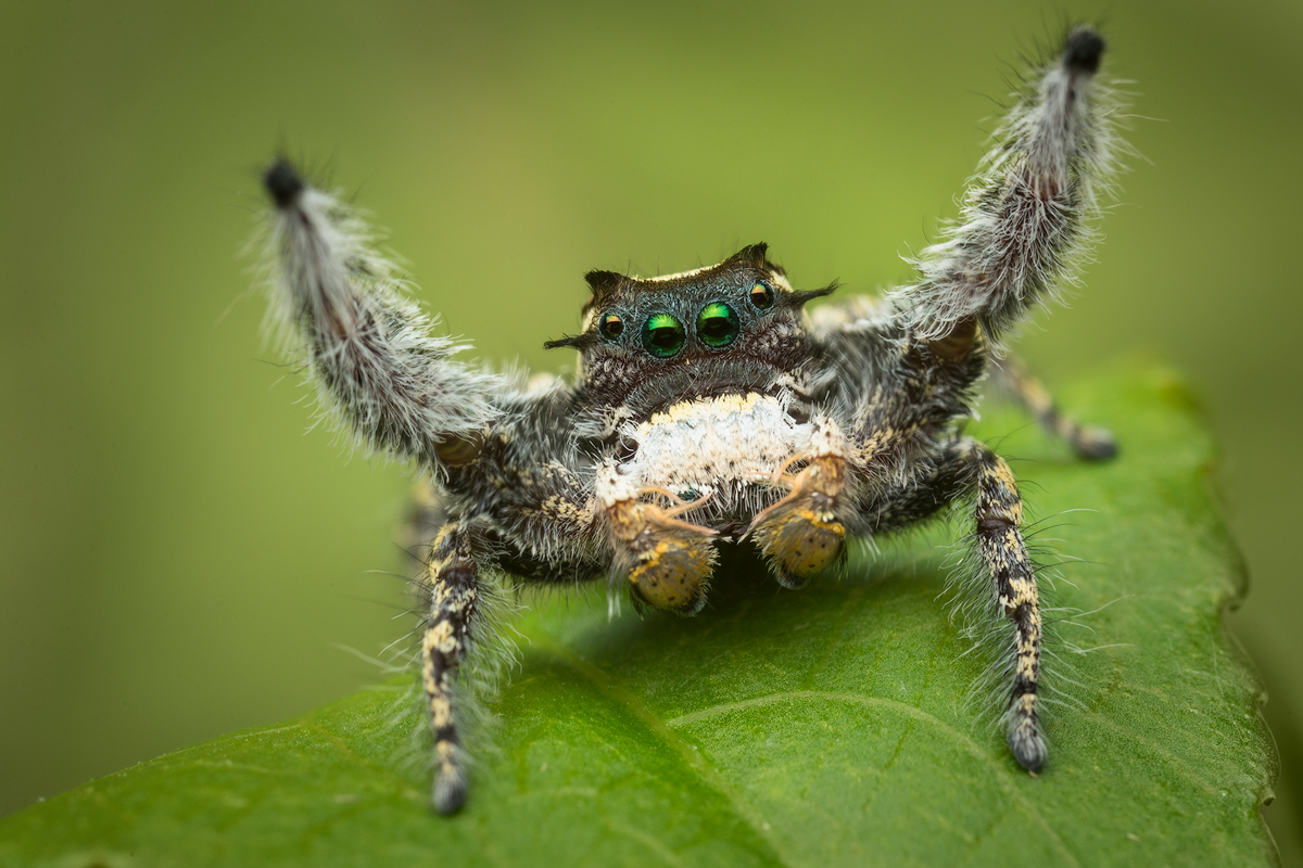 """Putnami group-Another awesome Phidippus that was high on the """"need to photograph list"""" that I had the pleasure to meet. This..."""