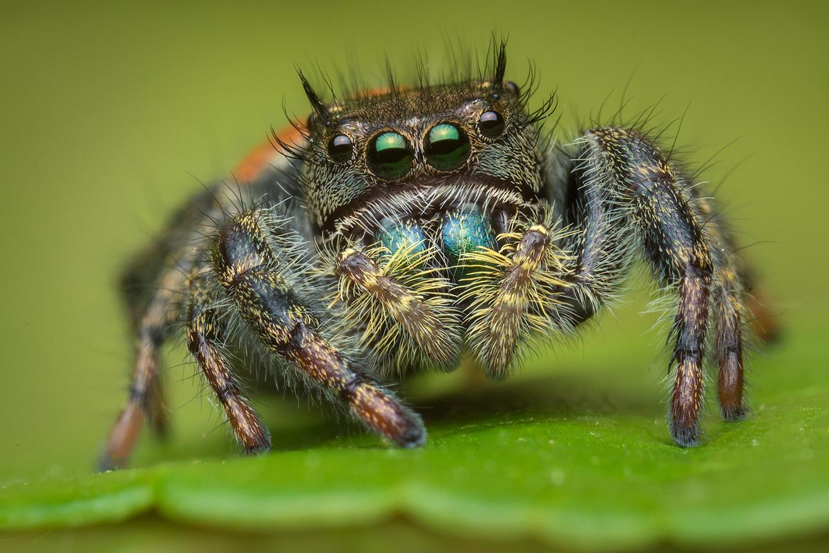 Phidippus, Phidippus johnsoni, salticidae, jumping spider, photo