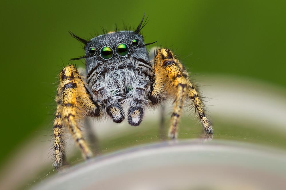 phidippus mystaceus, salticidae, jumping spider, spider, macro photography