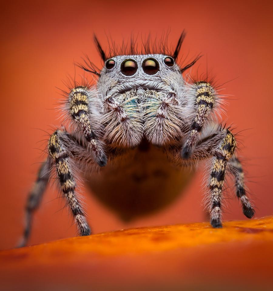phidippus,phidippus mystaceus, salticidae, jumping spider, photo