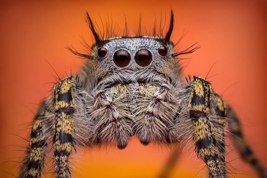 phidippus,phidippus mystaceus, jumping spider, photo