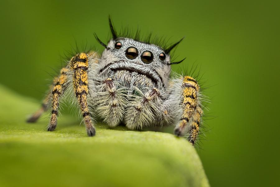 phidippus mystaceus, salticidae, jumping spider