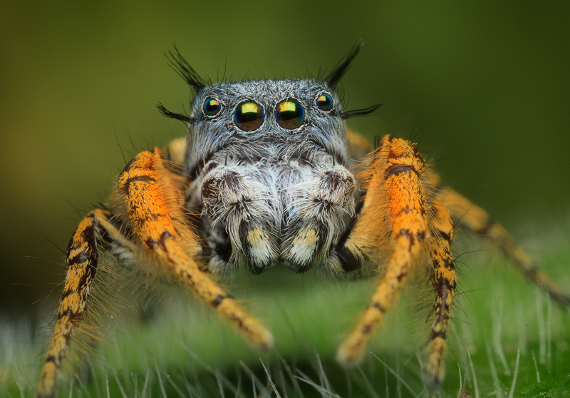 This is one of the species on that bucket list I created. I can't believe I was able to witness such a crazy cool jumper let...