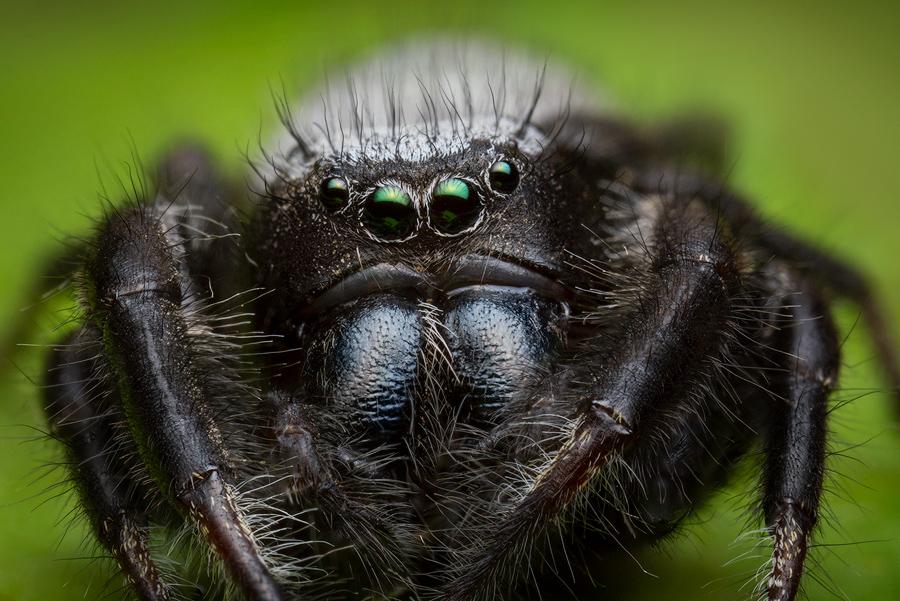 phidippus, phidippus octopunctatus, salticidae, jumping spider, photo