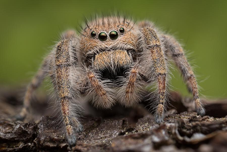 phidippus,phidippus octopuntatus, salticidae, jumping spider, photo