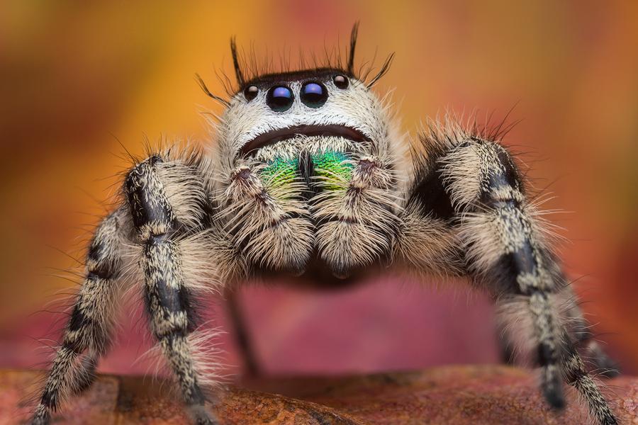 phidippus otiosus, canopy jumper, salticidae, jumping spider, georgia
