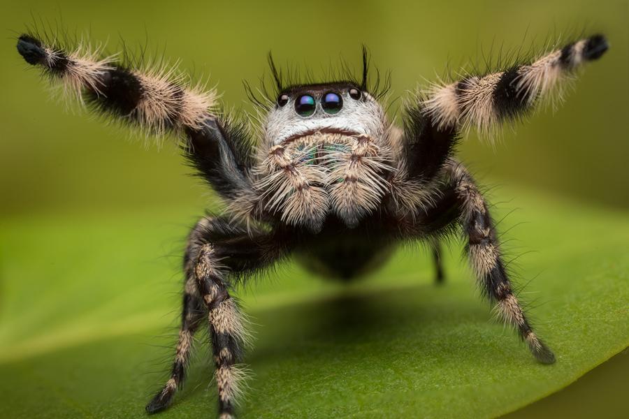phidippus otiosus, female, canopy jumper, Georgia, salticidae,jumping spider