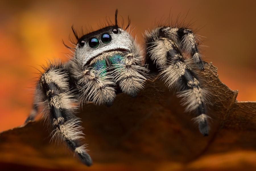 jumping spider, phidippus, salticidae, macro, patrick zephyr, spider, arachnid, phidippus otiosus, photo