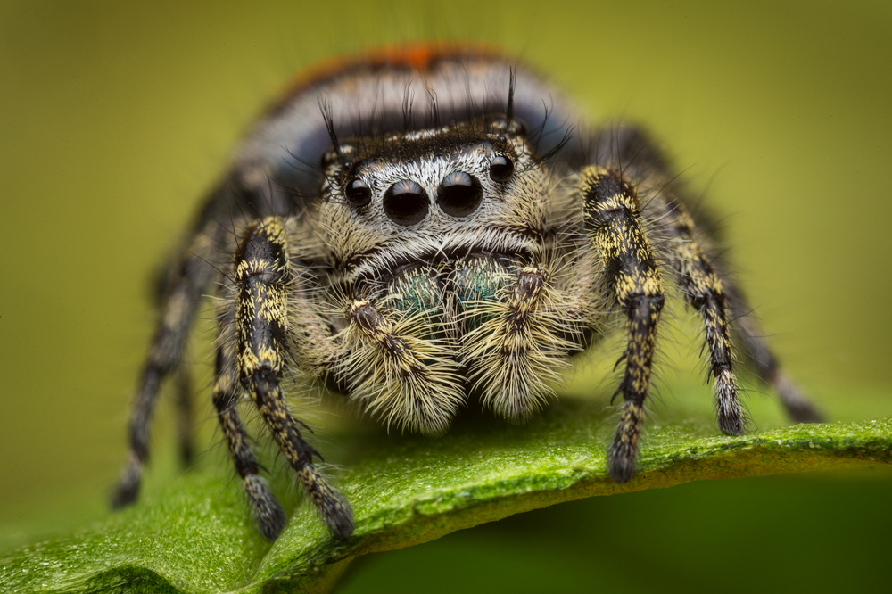 Phidippus pheonix, california, salticidae, jumping spider, photo