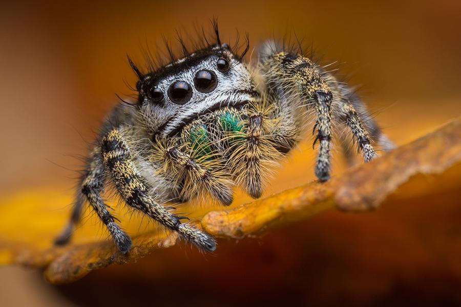 phidippus,phidippus pheonix, salticidae, jumping spider, photo