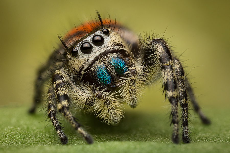 jumping spider, phidippus, salticidae, macro, patrick zephyr, spider, arachnid, phidippus pheonix, photo