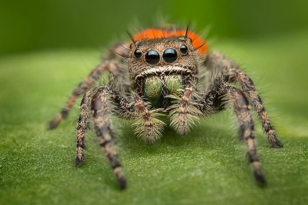 This beautiful Phidippus is found in North Florida and is closely related to the very common Phidippus princeps found here in...