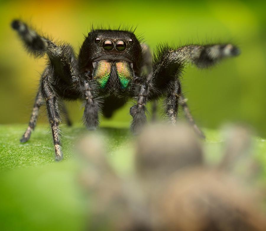 phidippus,phidippus purpuratus, salticidae, jumping spider, photo