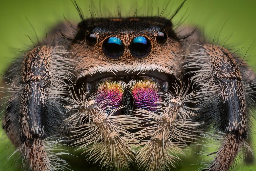 phidippus,phidippus regius, salticidae, jumping spider, regal jumper, photo