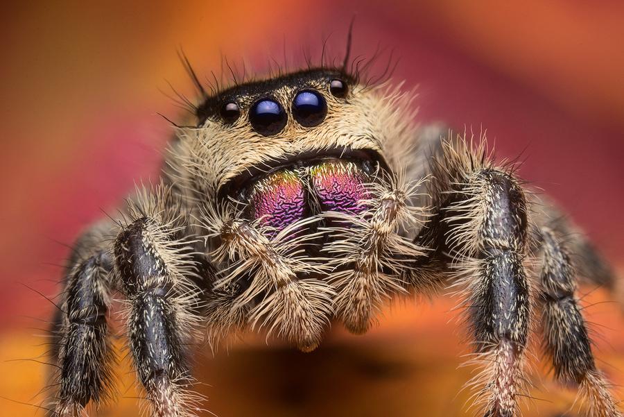 phidippus,phidippus regius, regal jumper, salticidae, jumping spider, photo