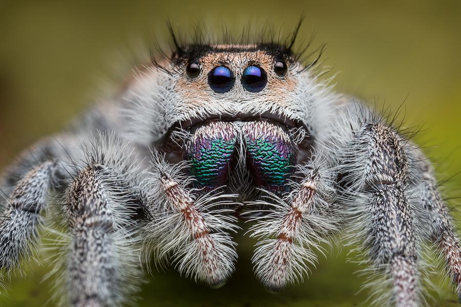 Phidippus regius, salticidae, jumping spider, white, Florida, photo