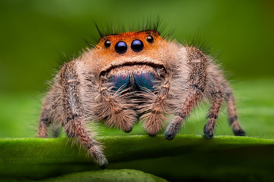 phidippus regius, regal jumper, salticidae, jumping spider, orange form, Florida, photo