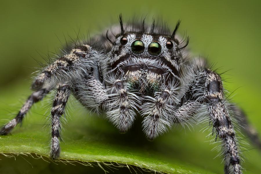 phidippus, phidippus tigris, salticidae, jumping spider, photo