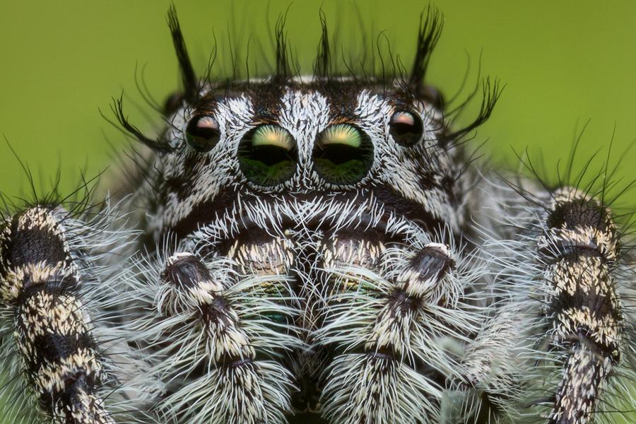 phidippus,phidippus tigris, salticidae, jumping spider, photo