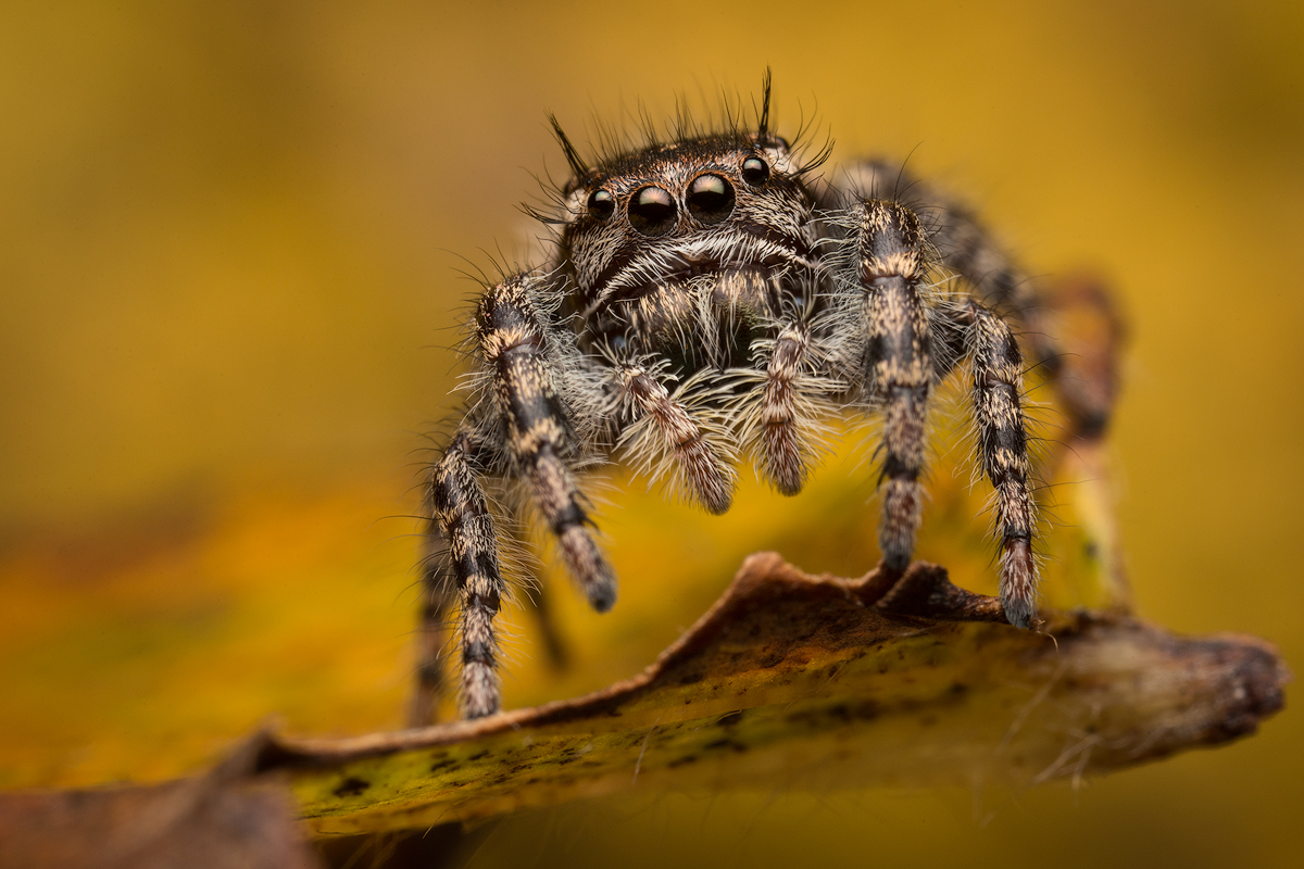 Mystaceus group-I found a couple of these awesome phidippus while one a quick adventure in southern Arizona this summer. I'll...