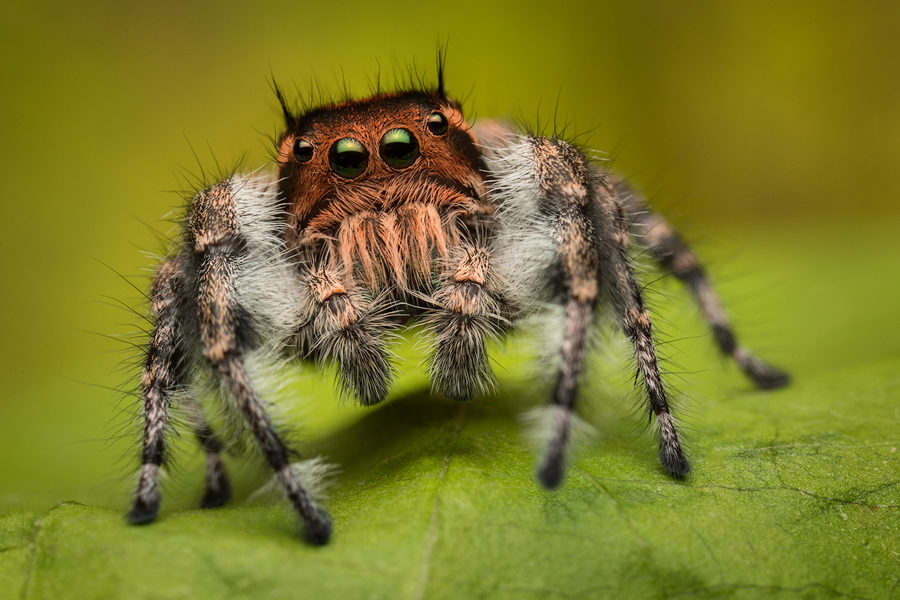 Mystaceus group-I found a couple of these awesome phidippus while one a quick adventure in southern Arizona this summer. I found...