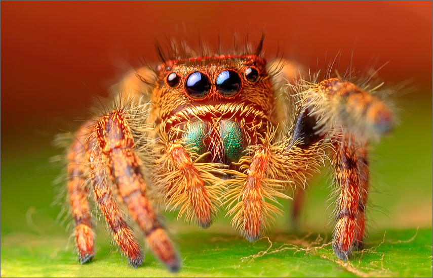 spider, jumping spider, arachnida, salticidae, insect, phidippus audax, photo