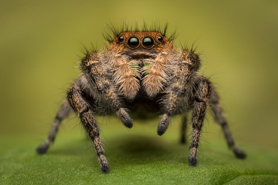 phidippus apacheanus, salticidae, jumping spider, arizona